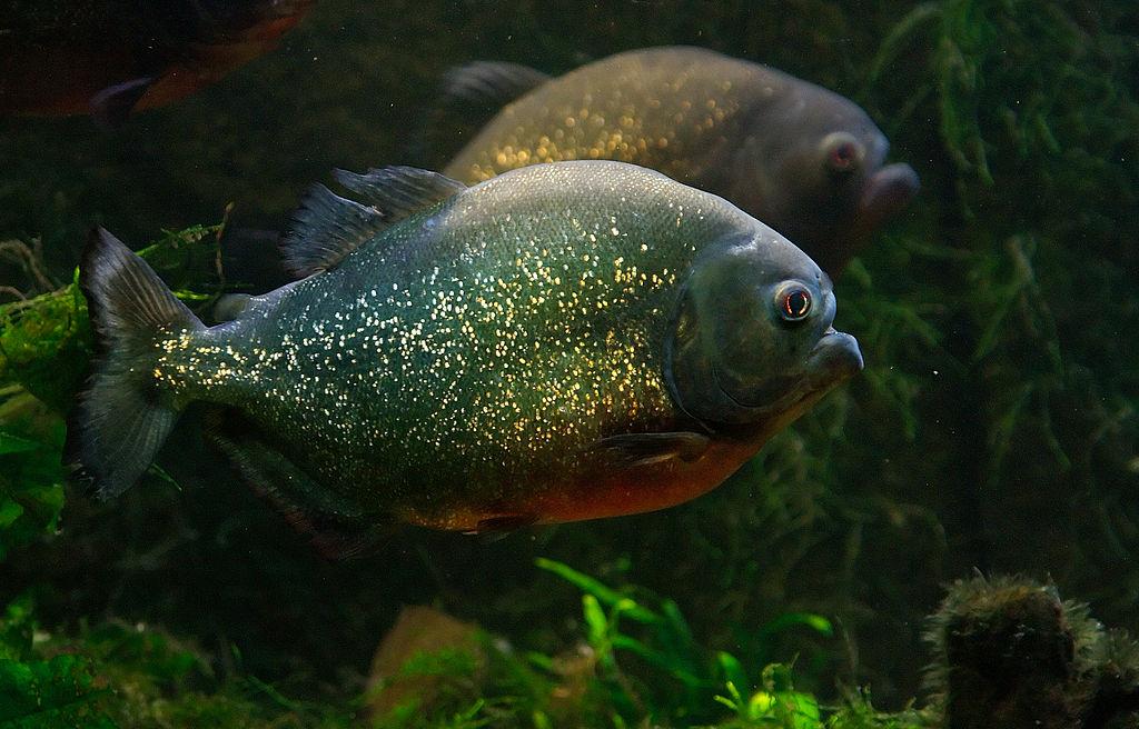 Piranha Roja